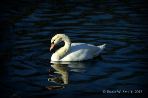 single swan swimming on a blue lake