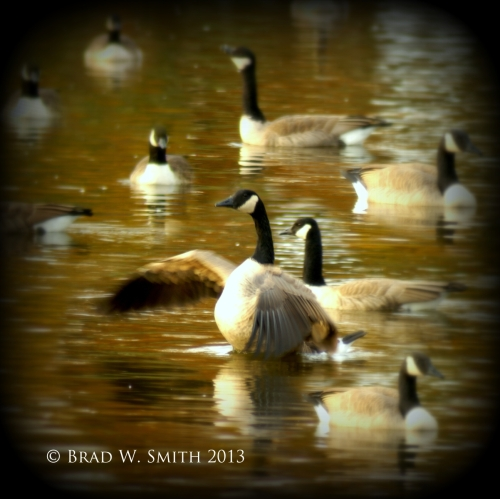 2 dozen geese on a fall pond, one is flapping its wings and squawking, while the others calmly ignore him