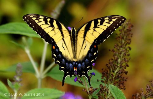yellow and black butterfly spread wing on bush. Photo by Brad W. Smith, photographer.