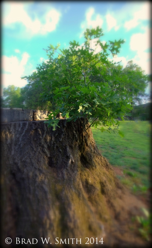 large tree stump, with small tree growing from the cut place, blue sky, green grass, puffy clouds
