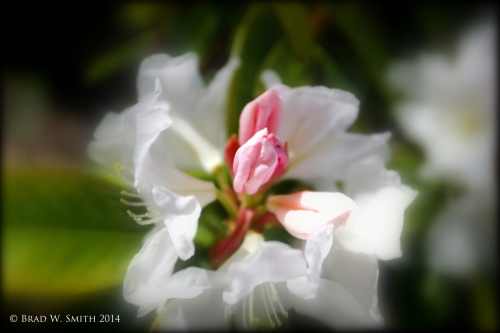 two white flowers, slightly out of focus, with deep pink centers, in focus.