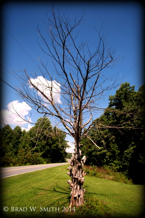 Dead deciduous tree near roadway, blue sky, clouds, many live pines nearby